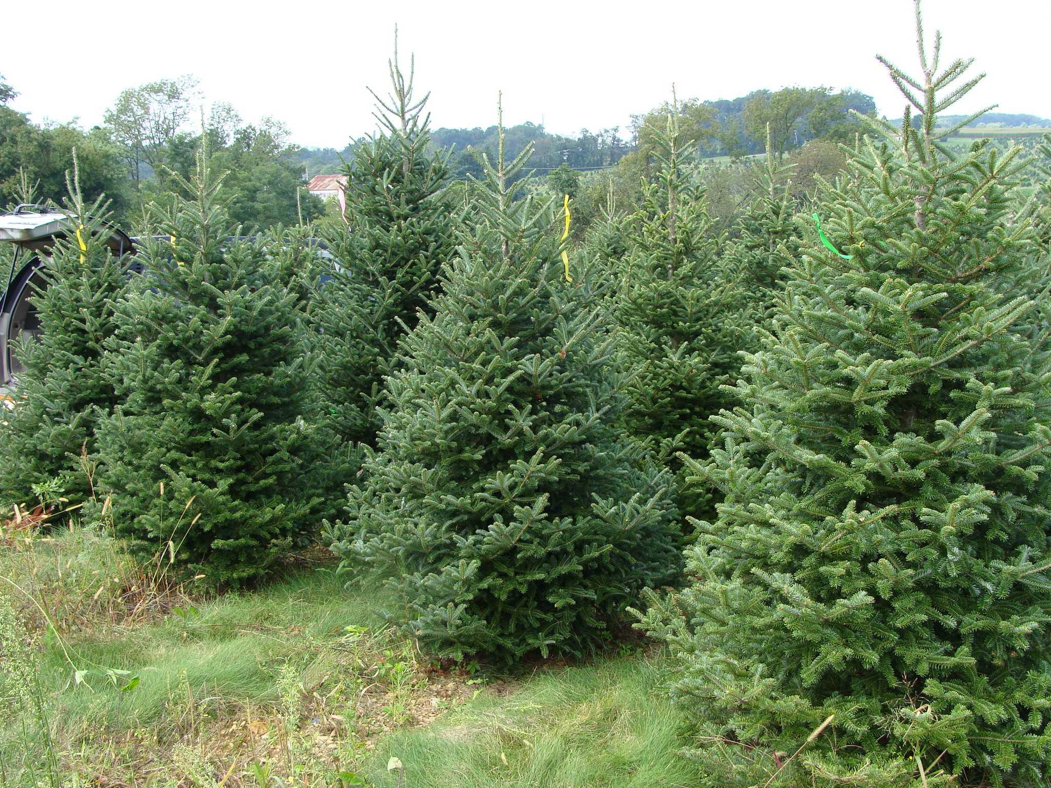 the Inkblot : Opinion: Real Christmas trees vs fake Christmas trees