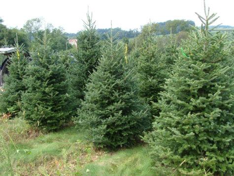 Opinion: Real Christmas trees vs fake Christmas trees